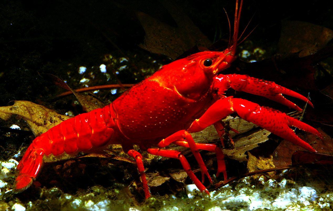 Lobster Air Tawar Procambarus Clarkii Habitat Tahu