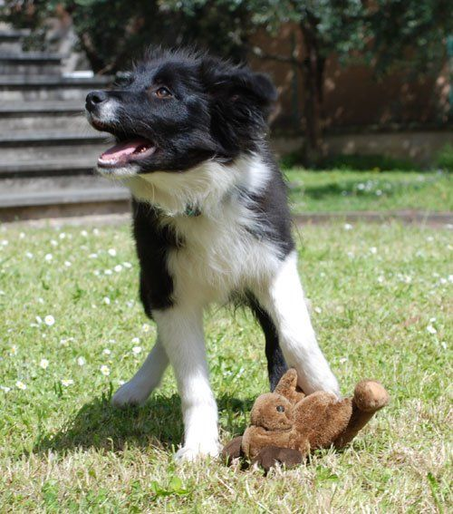 Border Collie Collie Puppies Border Collie Puppies Working Dogs