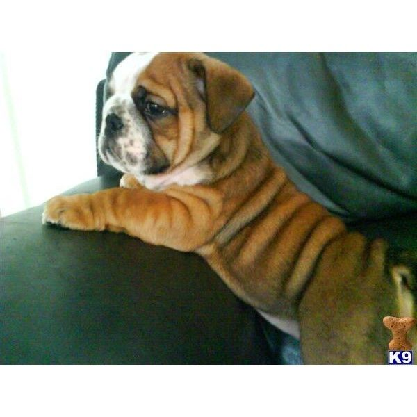 Champion british bulldogs Bulldog Puppy for Sale in the