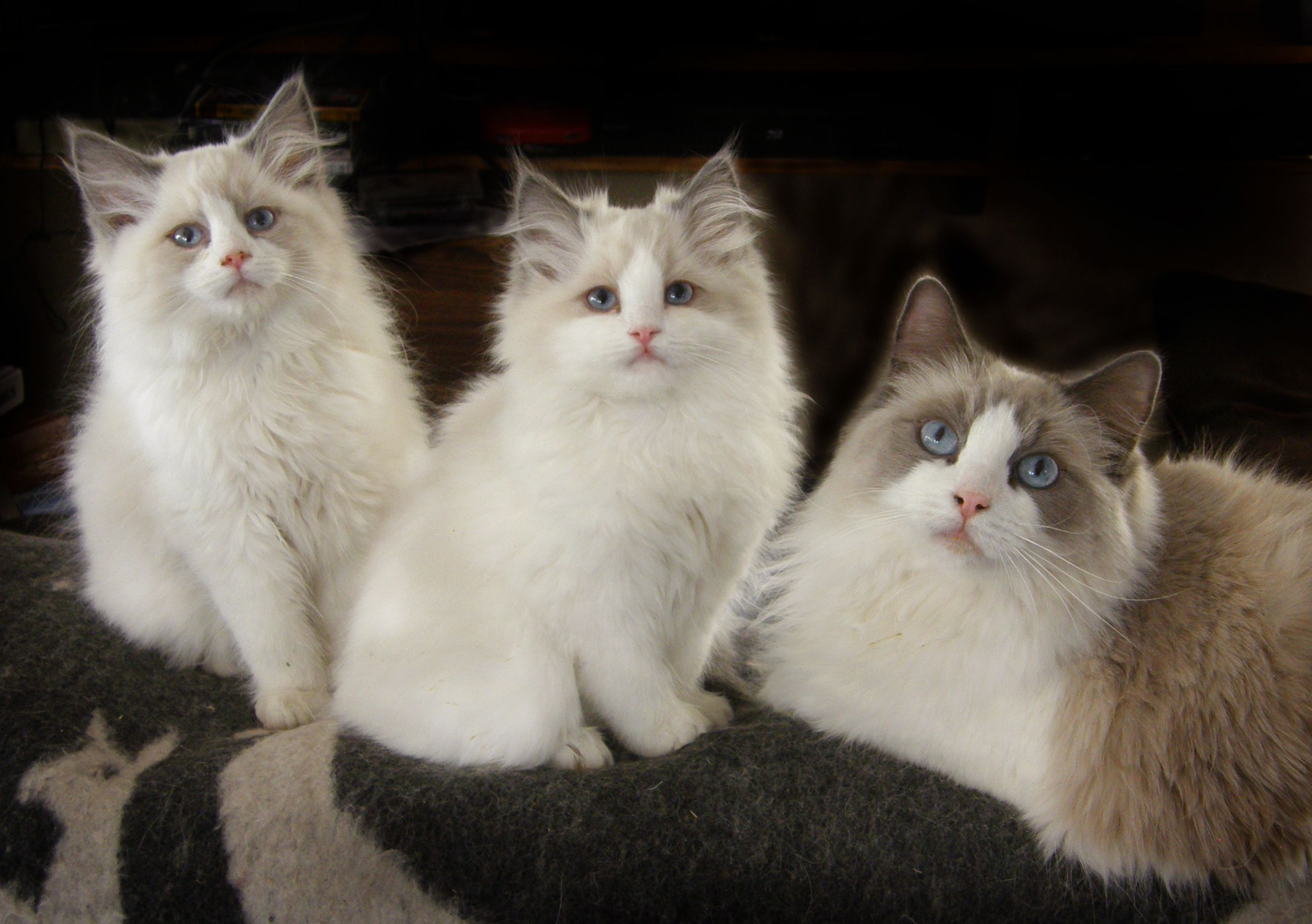 Blue Bicolor Ragdoll Cat, Blue Moon and two of her