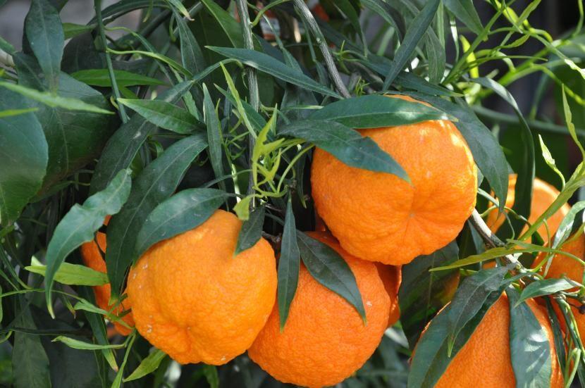 Cuidados Del Naranjo En Maceta Cultivo De árboles Frutales Hortalizas Caseras Maceta