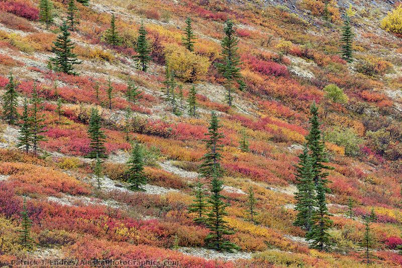 Autumn colored tundra landscape / Spruce trees, dwarf