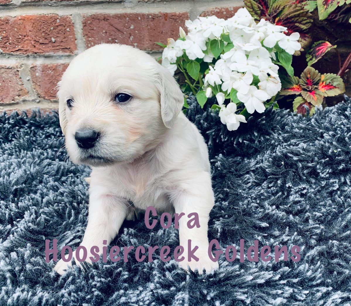 Cora Female Akc Golden Retriever For Sale Loogootee Indiana