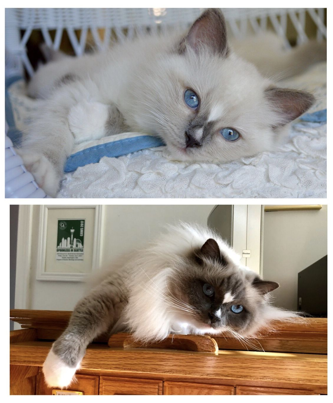 Colorpointed Cats Transition Ragdoll Cats Color Progression Floppycats Ragdoll Cat Colors Cat Colors Ragdoll Cat