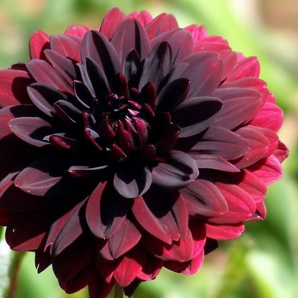 "Dahlia Burgundy Black Flower: Gorgeous Dark Red ""black"" Dahlia"