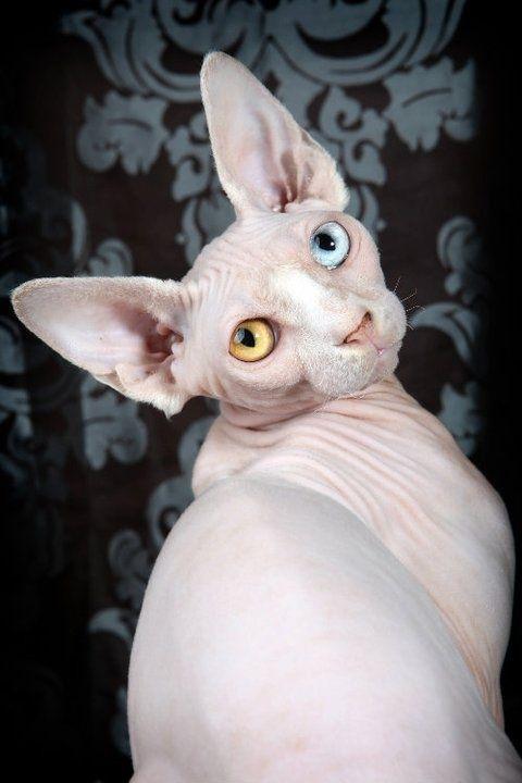 Sphynx Cats Kittens Nada Sphynx Devon Rex Lykoi Donskoy