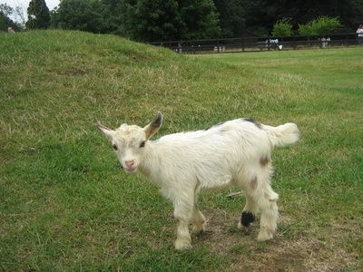 Signs of Pregnancy in Pygmy Goats | PYGMY GOATS | Goats