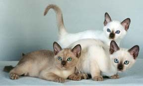 Tonkinese Color Tonkinese Cat Burmilla Cat Tonkinese Kittens