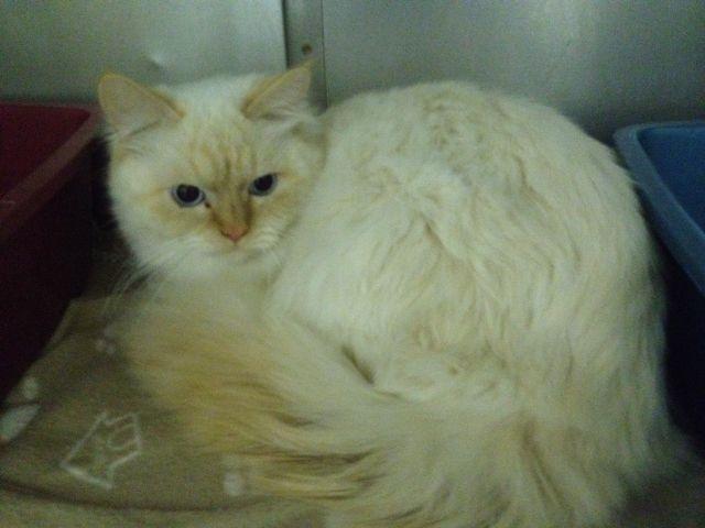 Adopt Chris And Max On Petfinder Himalayan Cat Beautiful Cat Burmese Cat