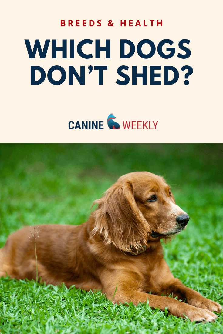 13 Big Dogs That Don T Shed Large Non Shedding Dog Breeds Dog Breeds That Dont Shed Non Shedding Dogs Non Shedding Dog Breeds