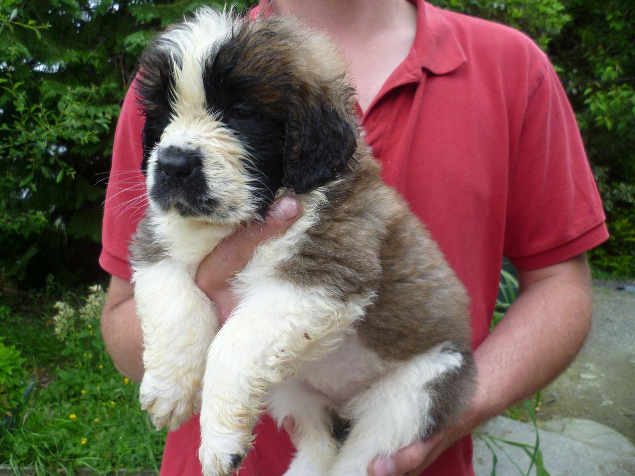 Registered Saint Bernard Puppies Ready Now St Berdoodle Poodle