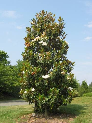 There S Only 50 States But Are Tons Of Diffe Flowers Needless To Say Magnolia And The Trees They Grow