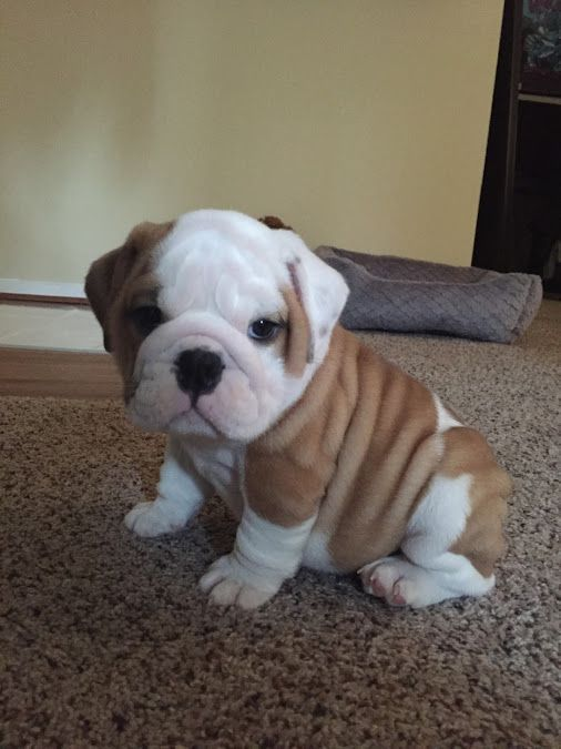 This Puppy Does Not Even Look Real It Is So Cute Cute Little