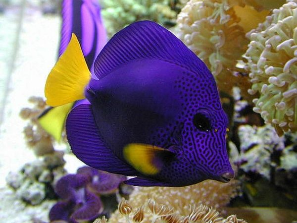 Saltwater fish 1 blue tang my tangs were the hardest to for Blue saltwater fish