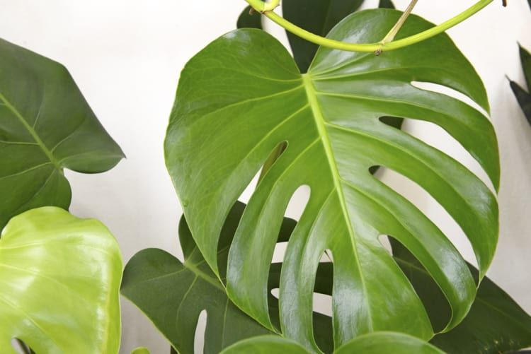 14 Houseplants For People With No Green Thumb Large Leaf Plants Indoor Plants Low Light Philodendron Plant