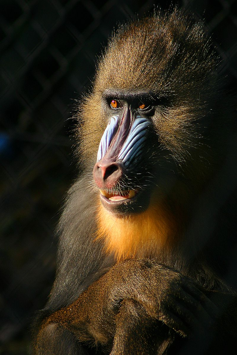File Mandril Jpg Mandrill Baboon Animal Pictures