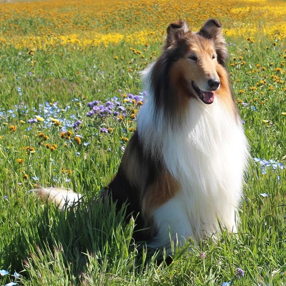 Pin By Yangja Chung On Beautiful Creatures Shetland Sheepdog