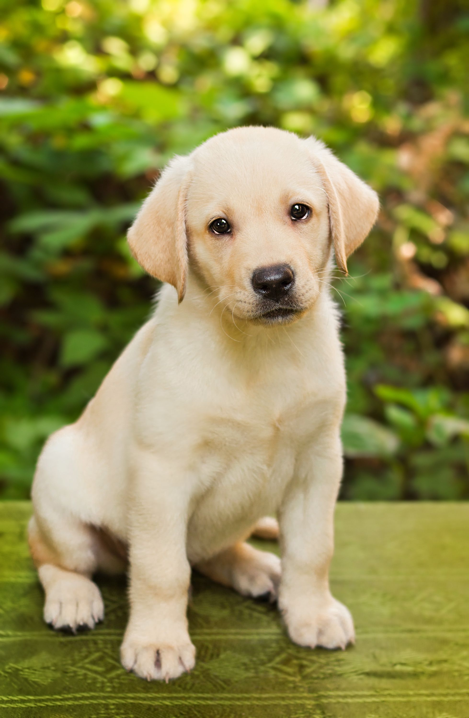 5 Things Anyone Who Loves Golden Retrievers Should Know Labrador