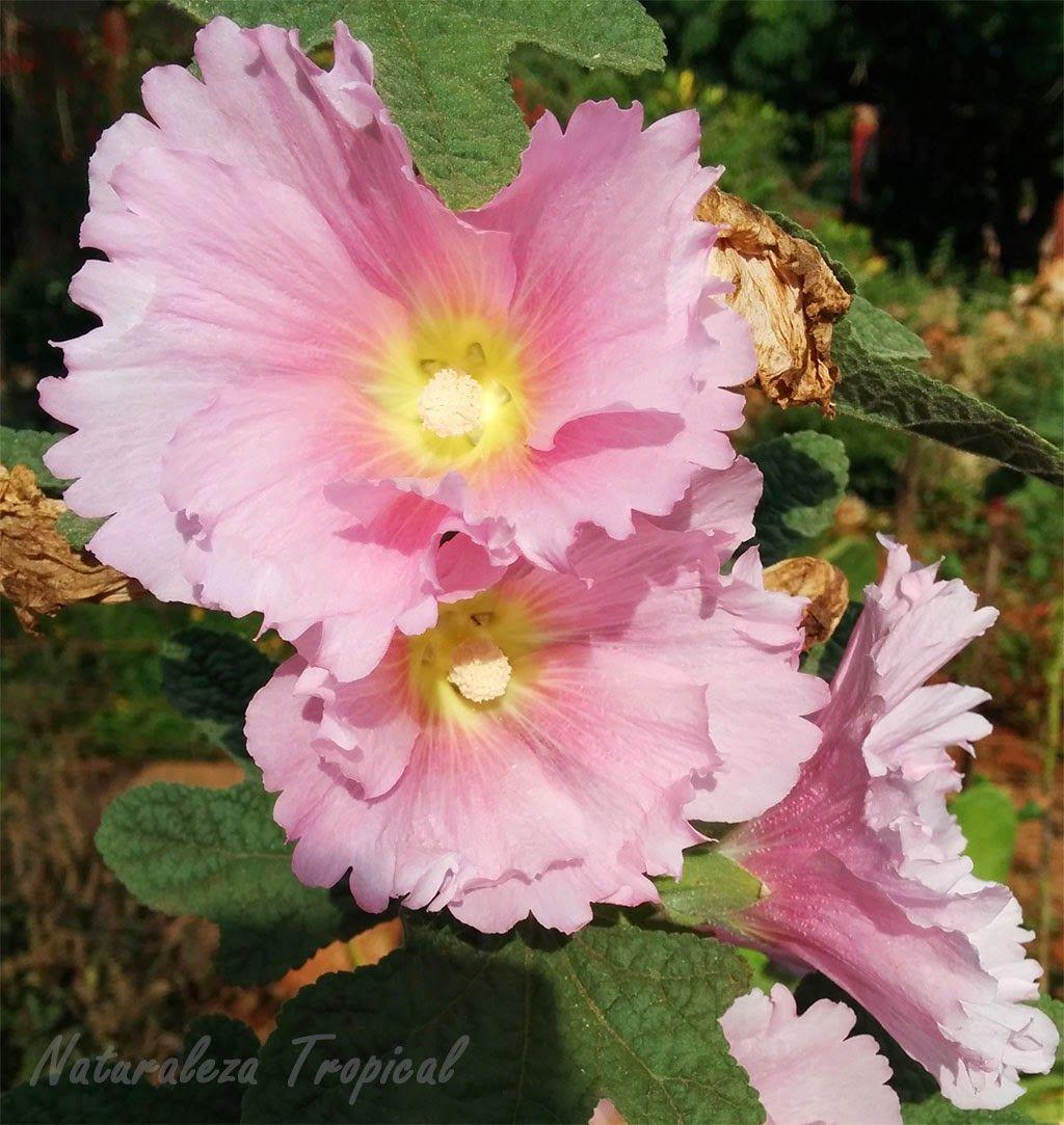 Flor varita de san jos rosa nombre com n de la flor de for Planta ornamental blanca nieves