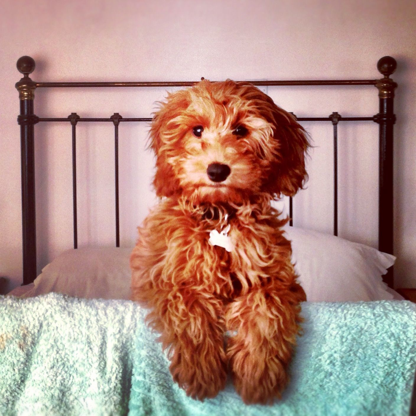 Australian Labradoodle, dog, puppy ... Labrador Retriever x Standard Poodle Mix Looks just like Goose!