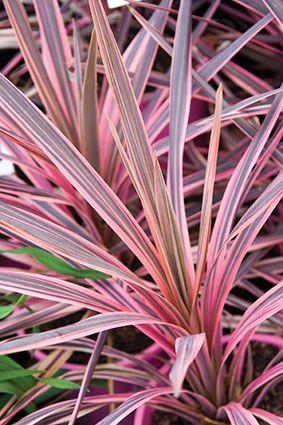 Cordyline Australis Southern Splendour Plants Ornamental Plants Rare Flowers