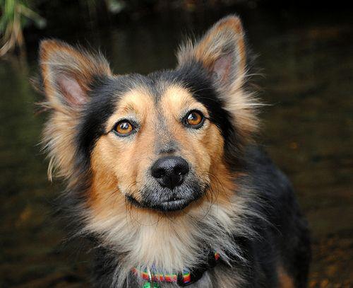 Corgi German Shepherd Mix I M In Love