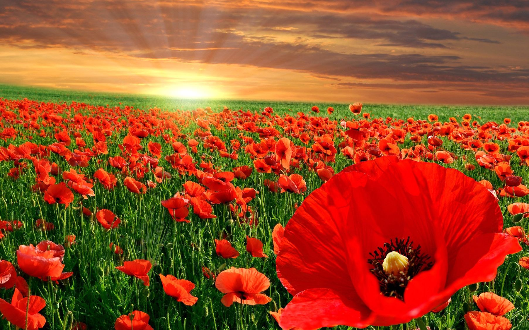 poppy, fields, at, sunset, flower wallpapers, nature images