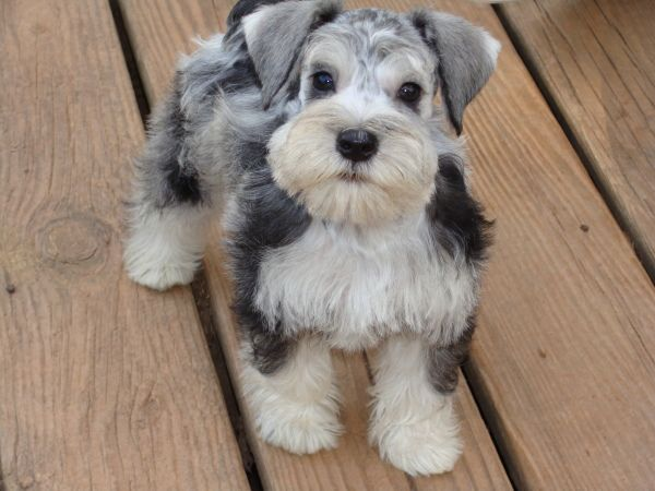 Salt N Pepper Merle Schnauzer Schnauzer Puppy Dogs Miniature