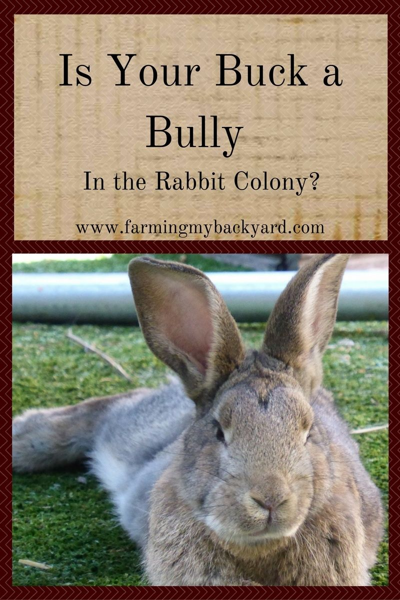 Is Your Buck a Bully In the Rabbit Colony | Rabbit farm ...