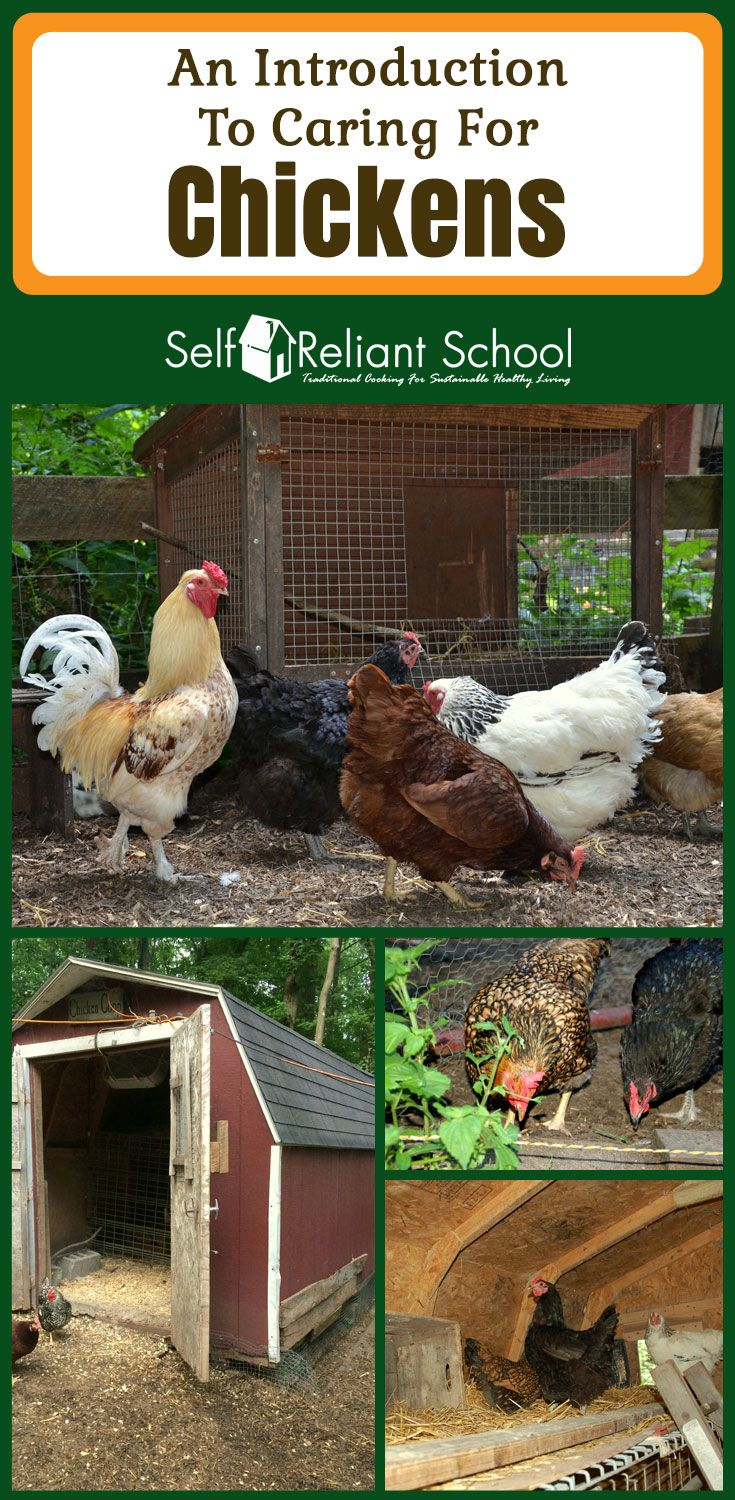 Caring for chickens - information from choosing a coop to ...