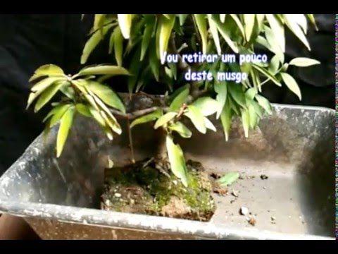 Pessegueiro - Poda das raízes - YouTube