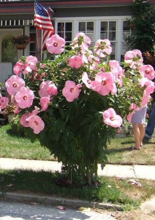Rose Mallow Hibiscus Pink Elephant Sun To Part Shade 5 Tall