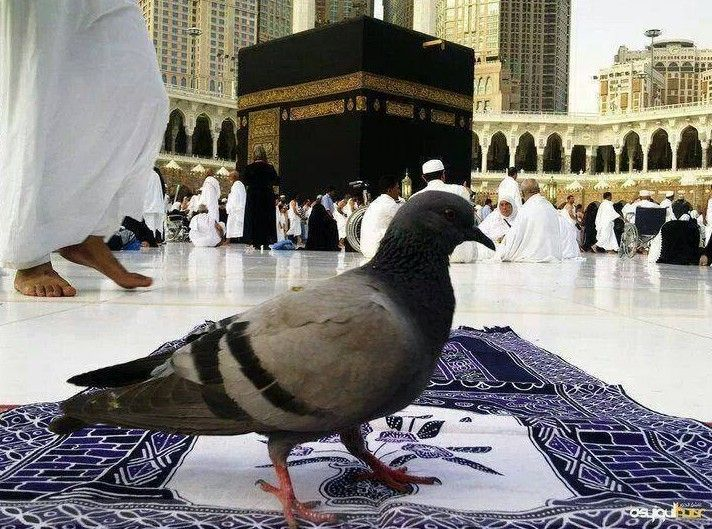 Excellent Kaaba Photos A Pigeon Sitting In Mataf Area In Masjid Al Machost Co Dining Chair Design Ideas Machostcouk