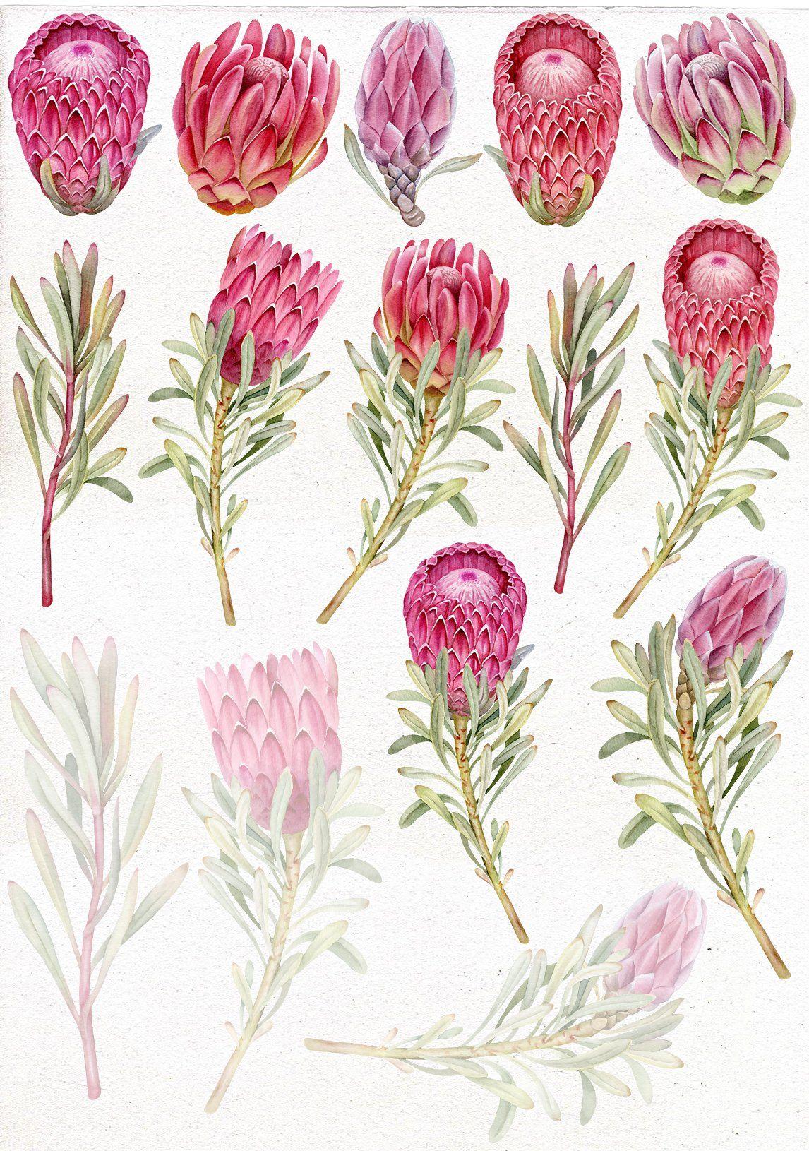 Watercolor Protea Clip Art Protea Art Flower Art Flower Drawing
