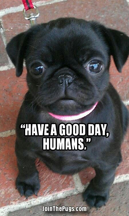have a good day human | Baby pugs, Cute pugs, Pug puppies