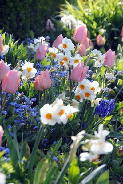 Love color combo! Spring Borders, Bulb Combinations, Perennial Combinations, Tulip Christmas Dream, Narcissus Cragford, Muscari Armeniacum, Narcissus Geranium, Tulipa Christmas Dream, Daffodil Cragford, Muscari, Daffodil Geranium