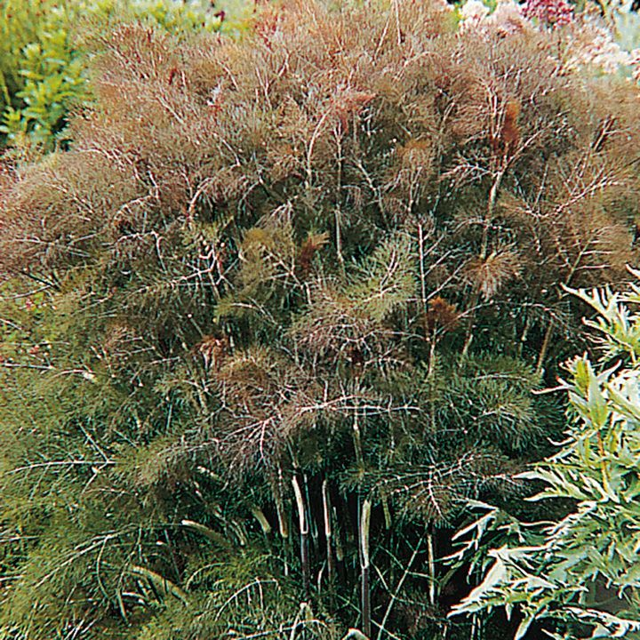 Herb Plant Bronze Fennel