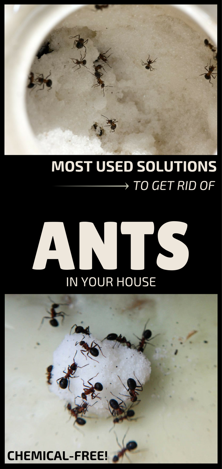 Most Used Solutions To Get Rid Of Ants In Your House Rid Of Ants Get Rid Of Ants Clean House