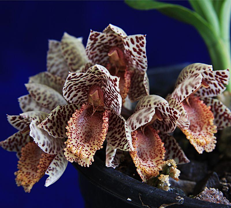 Ctsm. denticulatum 'Pine Ridge,' orchid