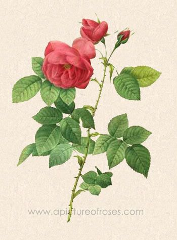 picture of the Bourbon Rose, R. x borboniana, painted by Pierre-Joseph Redouté,