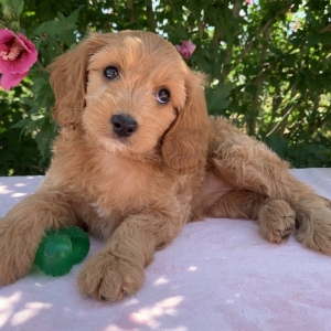 Sasha Cavapoo Puppy Cavapoo Puppies Puppies Puppy Facts
