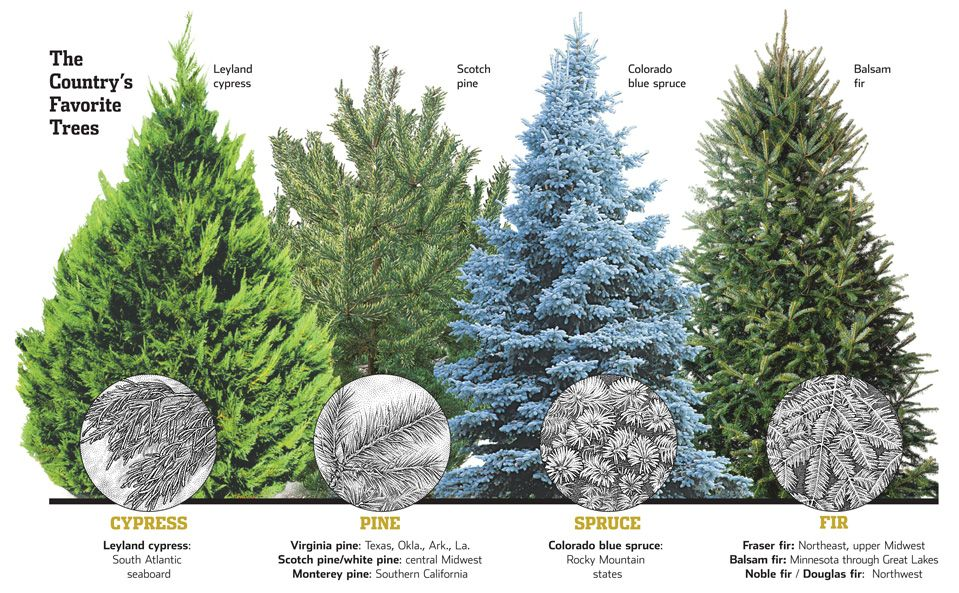 Tips On Putting Tinsel On Christmas Trees Google Search Colorado Blue Spruce Types Of Christmas Trees Leyland Cypress
