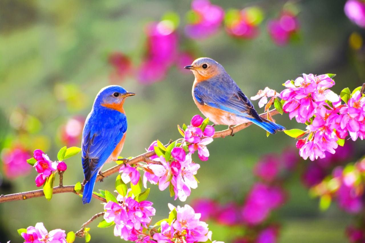 Lovely Two Little Blue Birds On A Blossom Branch Animal Wallpapers Hd Wallpaper Download For Ipad And Iphone Widesc Pretty Birds Beautiful Birds Spring Birds