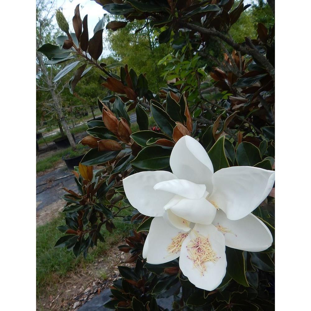 4 in x 4 in x 10 in magnolia little gem container