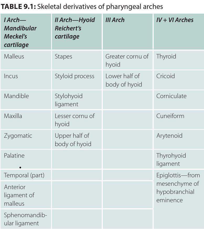 Skeletal Derivatives of Pharyngeal Arches ANATOMY Dental hygiene