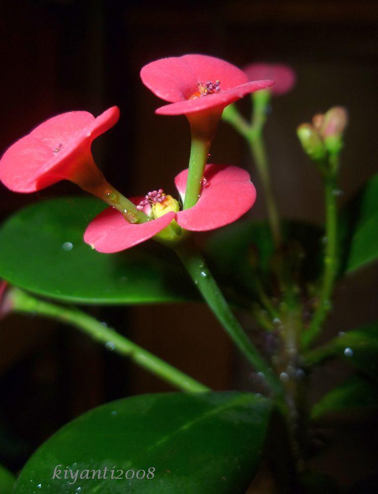 crown-of-thorn-euphorbia-milii.jpg 768×1,002 pixels