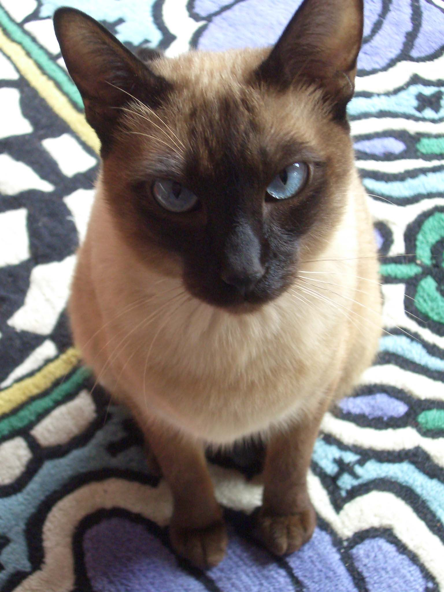 Katrientje Tonkinese Cat Siamese Cats Tonkinese Cat Cat Breeds