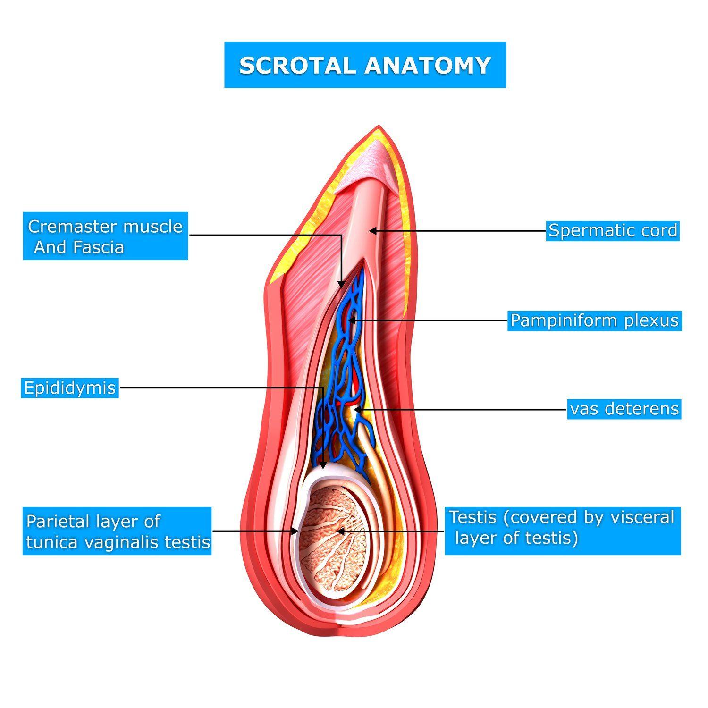 Could I have spermatocele? | Testicular cancer and Prostate cancer
