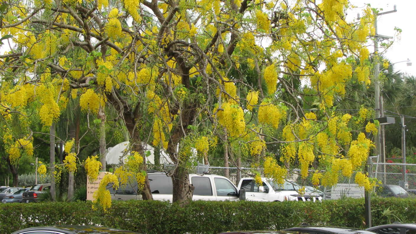 Cassia marginata Red Shower Tree Seeds multi use plant Container or Standard