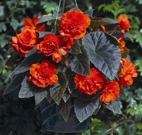 50 Begonia Seeds Gogo Orange Series Begonia Pelleted Seeds Bulk Seeds #begoniaseeds